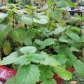 hoac-huong-s-120x120 Bạch hoa xà và công dụng chữa bệnh