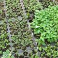 trồng rau bằng màng phủ
