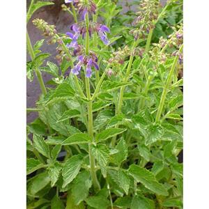 Salvia-miltiorrhiza-BLBP-01-Chinesischer-Salbei-Saatgut Các giống Sâm thường gặp
