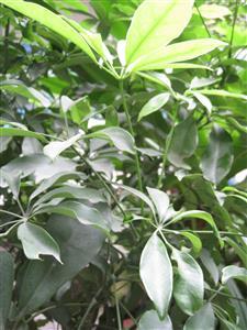 Schefflera_octophylla Các giống Sâm thường gặp