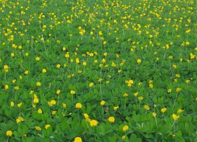 cỏ đậu phụng