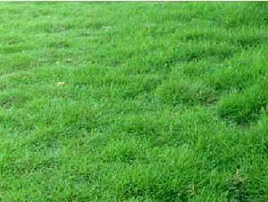 cỏ lông heo