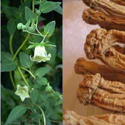 codonopsis-root Các giống Sâm thường gặp
