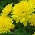hướng dẫn cách trồng hoa cúc