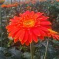 dong-tien-s-120x120 Hướng dẫn cách trồng hoa cúc - P2