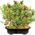 than-ky-s-s-120x120 Hướng dẫn cách trồng hoa cúc - P2