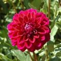 thuoc-duoc-hoa-do-s-120x120 Hướng dẫn cách trồng hoa cúc - P2