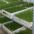 trongrausach-s-120x120 Ổn định kinh tế nhờ trồng rau xà lách xoong