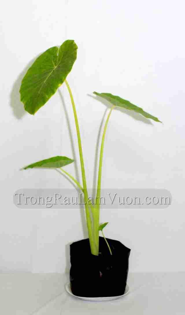 bac-ha-s Cách trồng cây môn bạc hà tại nhà