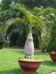 cau-sam-banh-1-s Cây cau kè trang trí sân vườn