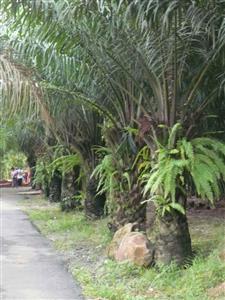 co-dau-s Cây cau kè trang trí sân vườn