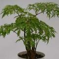 dinh-lang-120x120 Công dụng chữa bệnh của cây Bồ công anh-P2