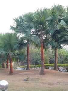 ke-do-s Cây cau kè trang trí sân vườn