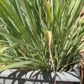 satrongchau-s-120x120 Cách trồng cây môn bạc hà tại nhà