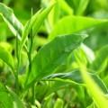 tra-xanh-120x120 Lợi ích của cây Lựu