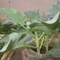 cai-ro-s2-120x120 Ăn rau hẹ chữa bệnh