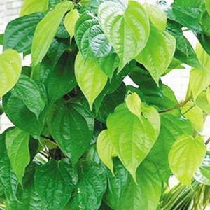 cây trầu, trầu không ម្លូ betel plant  Piper betel
