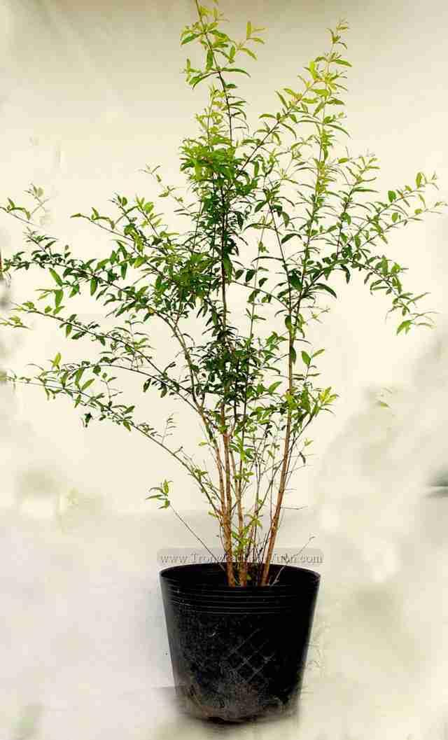 luu-trai-dongdau Lợi ích của cây Lựu