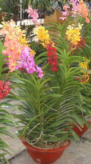 Chọn giá thể trồng lan Mokara tại nhà