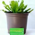 ngo-gai-1-120x120 Cách trồng cây nha đam tại nhà