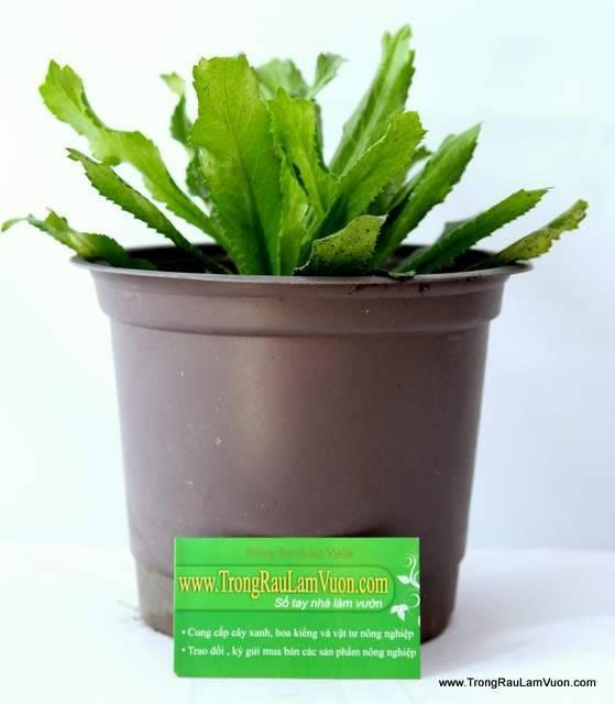 ngo-gai-1 Hướng dẫn cách trồng rau ngò gai tại nhà