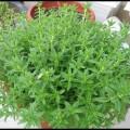 ngo-om-s1-120x120 Hướng dẫn cách trồng rau ngò gai tại nhà