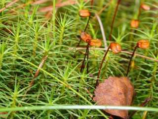 Polytrichum_commune-nen Có những điều bạn chưa biết về rêu