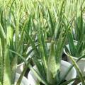 cay-nha-dam-120x120 Cách trồng cây ổi lê trong chậu tại nhà
