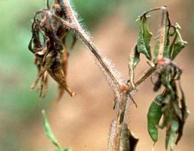 thoi-dot-ớt Cách phòng trừ bệnh hại rau do nấm trong đất