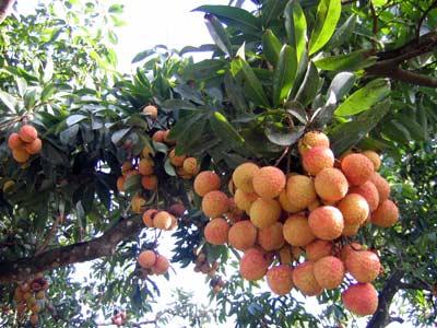 vai Cách bón phân hiệu quả cho cây ăn trái