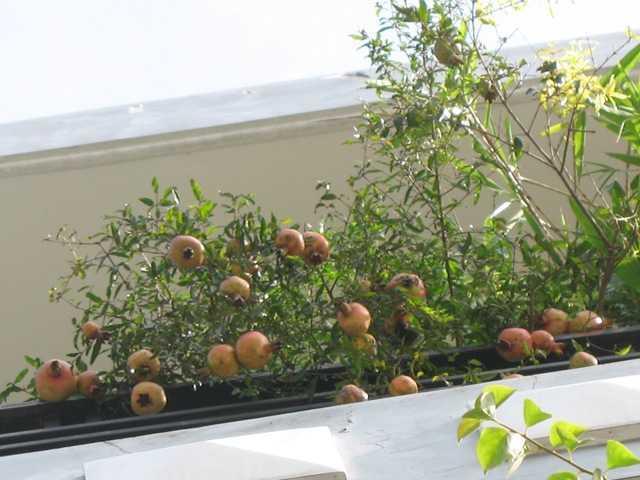 cay-an-trai-1-s Cách trồng cây che nắng trên sân thượng
