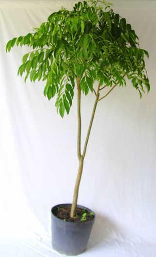 cây cóc Thái