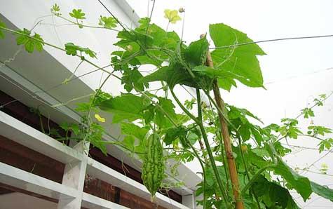 gian-leo Cách trồng cây che nắng trên sân thượng