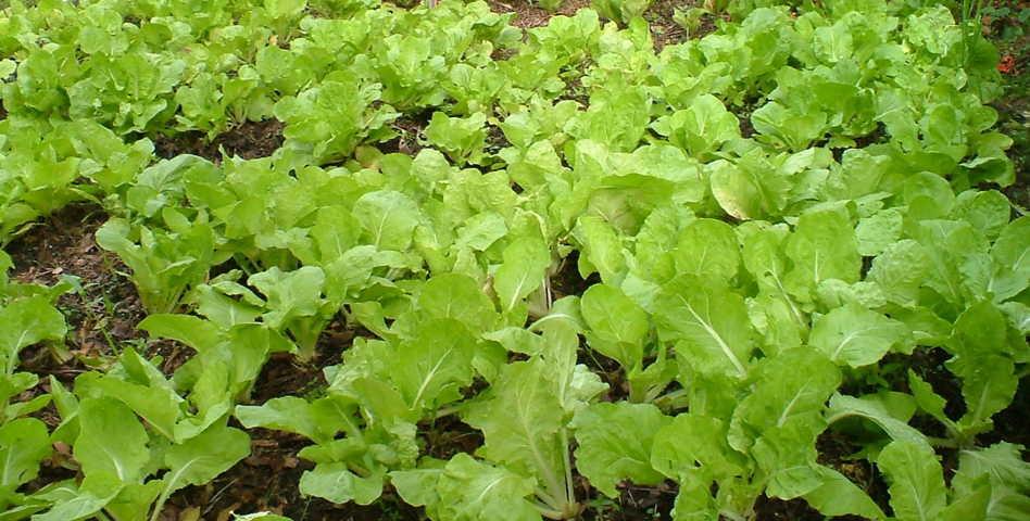 cách trồng rau