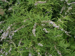 Lá cây ngũ trảo, một trong số các loại lá cây trong nồi xông chữa cảm cúm