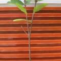 oi-le-s-120x120 Cách trồng chậu cây nhỏ xinh từ hạt thanh long