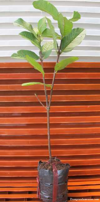 oi-le-s Cách trồng cây ổi lê trong chậu tại nhà