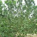 tao-tan-buoi-s-120x120 Kỹ thuật bón phân tỉa cành trên cây bưởi da xanh
