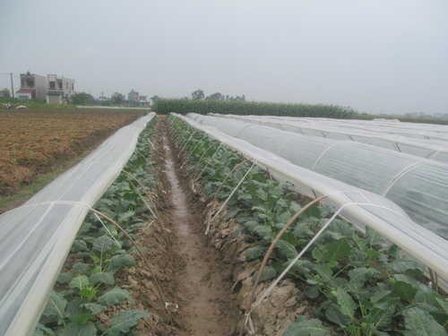 Ruộng trồng xu hào có che phủ nilon của hộ ông Bình xã Đoàn Thượng - Gia Lộc