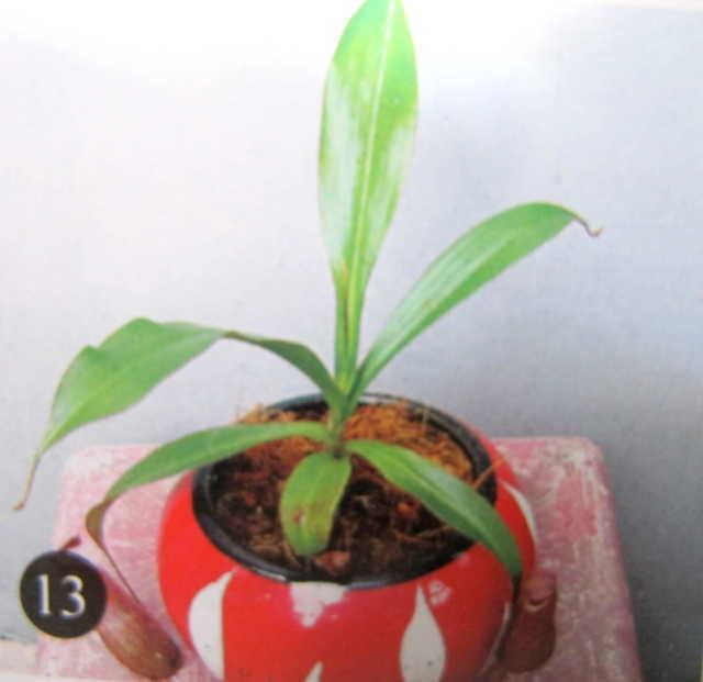 cây con  4 tháng tuổi được trồng vào chậu