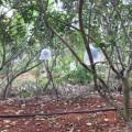 buoi-da-xanh-1-s-120x120 Kỹ thuật bón phân tỉa cành trên cây bưởi da xanh