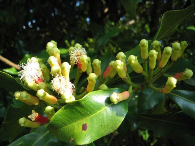 hoa-dinh-huong-s Vị thuốc quý từ cây Đinh Hương