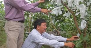 Cán bộ khuyến nông hướng dẫn người trồng ổi bao quả để hạn chế ruồi vàng gây hại...