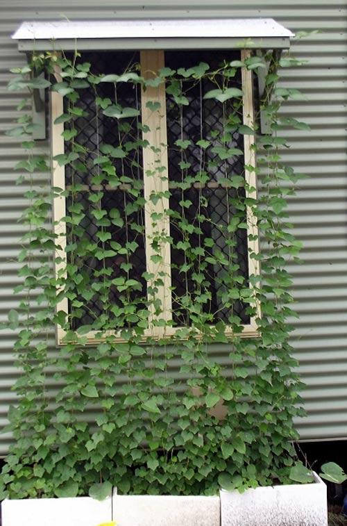 Dưa hấu tí hon mọc thành dàn leo, có thể trồng trước cửa sổ nhà