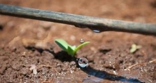 Công nghệ tưới nhỏ giọt nổi tiếng của nông nghiệp Israel