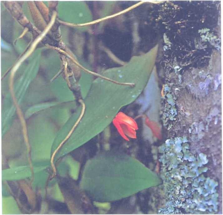 Những cây lan Epiphytic nhỏ mọc dọc các thân cây trong khu rừng nhiệt đới mưa nhiều giống như loài lan này ở phía tây Java. Ngoài lan, còn có địa y và rêu, cũng như một số loài cây khác như gesneriad, cây thu hải đường, cây dương xỉ và cây họ rây.