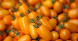 Hiện tại, trang trại cà trái cây cho năng suất 10 tấn 1.000 m2. Ảnh: NVCC.