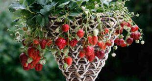 Áp dụng đúng cách trồng cây, ngôi nhà sẽ có thêm những chậu dâu tây trang trí độc đáo