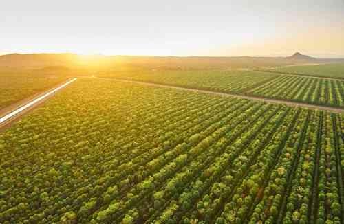 Khu vực trồng cây đàn hương của TFS tại Kununurra. Ảnh: TFS