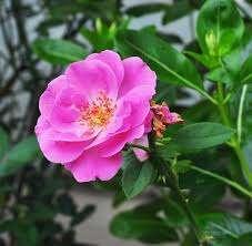Rosa Indica